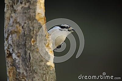 柔软的注视啄木鸟