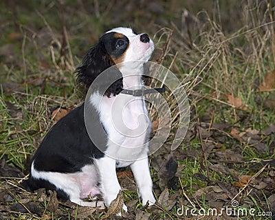 查尔斯国王小狗西班牙猎狗