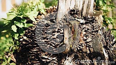树林里一棵老病树残 特写 股票录像