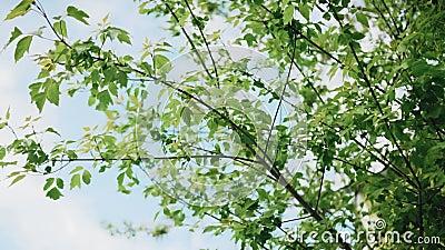 树枝在风中错动 春天 股票录像