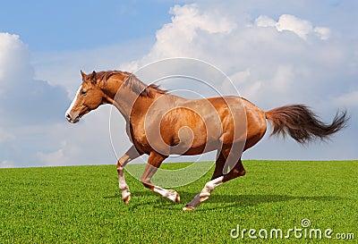 栗色公马trakehner
