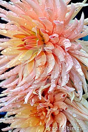 桃红色大丽花