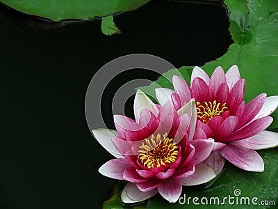 桃红色百合花