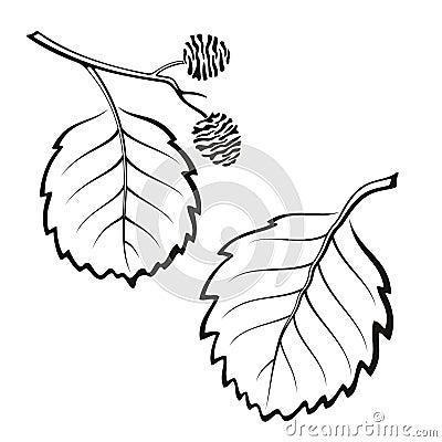 套植物图表,赤杨树叶子,黑在白色 向量.图片
