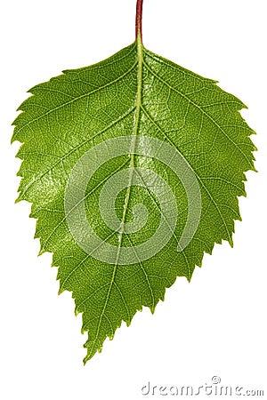 桦树叶子图片