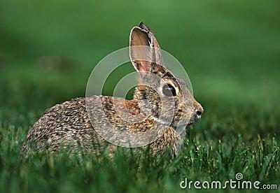 棉尾巴兔子