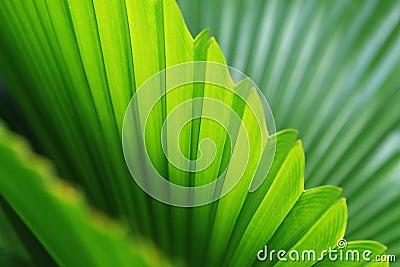 棕榈树叶子的图象.图片