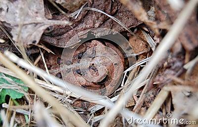 棕色隐藏的蟾蜍