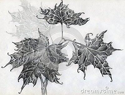 槭树离开铅笔剪影