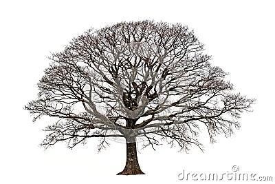 背景无叶子橡木集合结构树白色冬天.图片