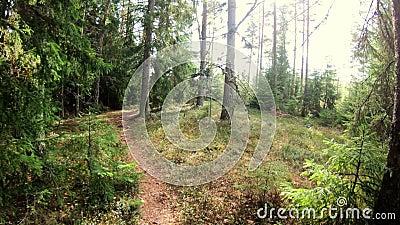 步行在秋天芬兰森林POV 股票视频