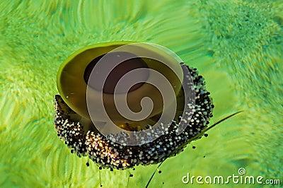 水母在绿色水域中
