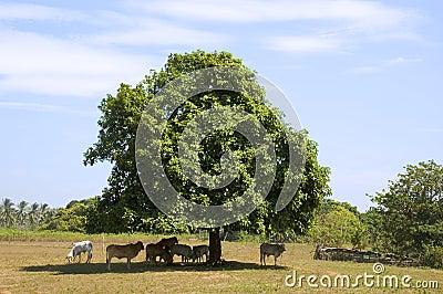 母牛在树荫下