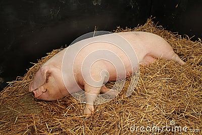 母猪 库存照片 - 图片: 45092987图片