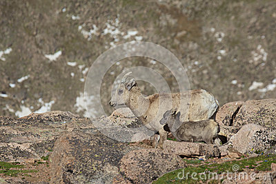 比格霍恩母羊和羊羔