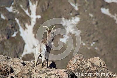 比格霍恩母羊