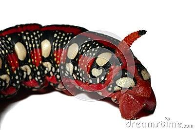毛虫龙表面红色