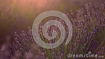 法国普罗旺斯薰衣草田的夏季背景