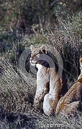 注意的雌狮