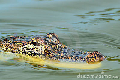 注意的鳄鱼