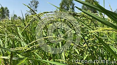 泰国农业生活方式观 农村生活与水稻种植、青苗水稻种植 影视素材