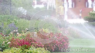 浇灌的花在公园 股票录像