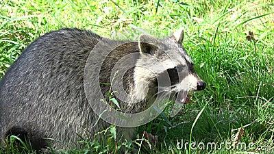 浣熊吃 影视素材