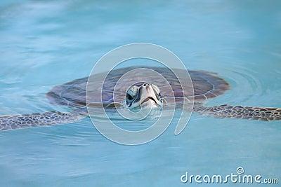 海龟游泳在缓慢地Cayo水中