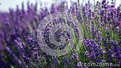 淡紫色开花的小树枝