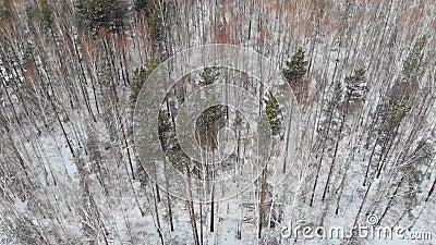 混杂的森林顶视图在冬天 股票 滴下任何东西的人顶视图或砍木柴在密集的混杂的森林  股票视频