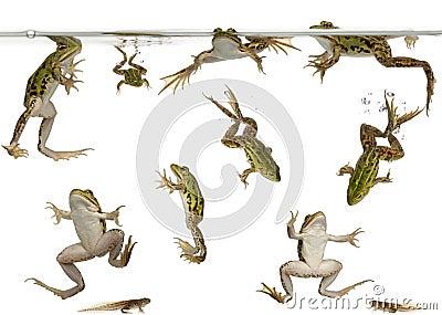 游泳蝌蚪的可食的青蛙图片