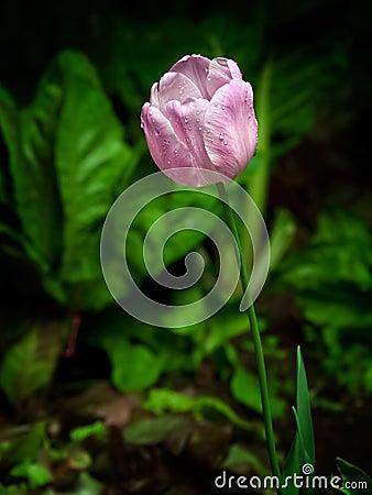 湿的郁金香