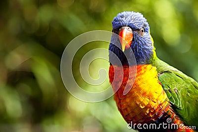 澳大利亚lorikeet彩虹