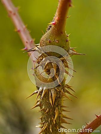 灌木多刺的茎
