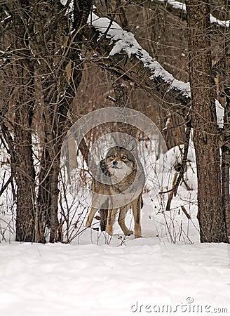 灰色野生狼