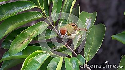 烘干羽毛的黑暗收缩的长尾缝叶鸟Orthotomus atrogularis在雨以后 股票录像