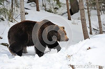 熊乃瑺yak9�+�,_0 库存照片: 熊在冬天森林里 id 46059848 © volodymyr byrdyak