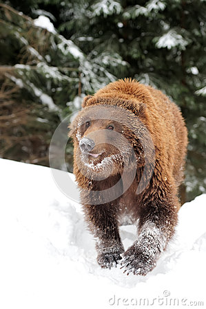 熊乃瑺yak9�+�,_mr: no pr: no 0 142 0 熊 id 29273318 © volodymyr byrdyak