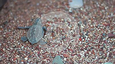 爬行在往海的海滩沙子的小乌龟 爬行沿海滨的塔特尔彗星 股票录像