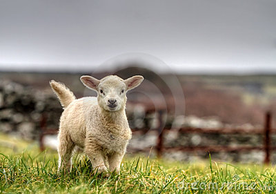 爱尔兰羊羔