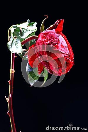 爱玫瑰色弄湿