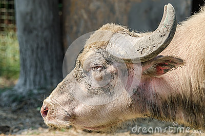 水牛属牛科动物画象