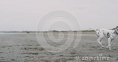 特写镜头友好狗达尔马提亚狗使用得在他嘴和跑的一个小球愉快在海滩 股票录像
