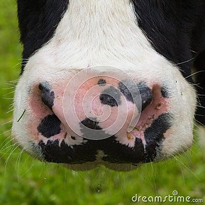 特写镜头鼻子母牛