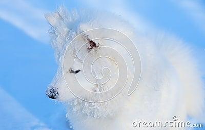 狗小狗萨莫耶特人