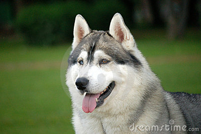 狗和人�y�'��)�al�����:)�h�_狗纵向西伯利亚人