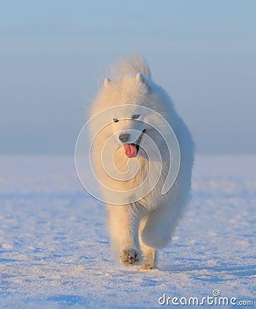 狗雪白俄国的萨莫耶特人