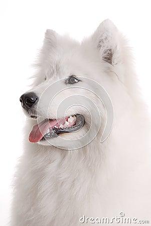 狗s萨莫耶特人