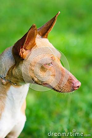 猎狗品种_一只品种优良的猎狗_小猎狗品种