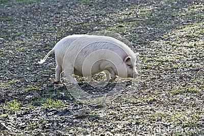 猪大肚子图片